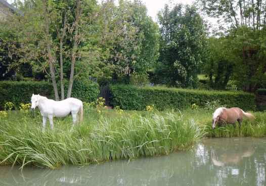 Pferde fressen Wasserlilien